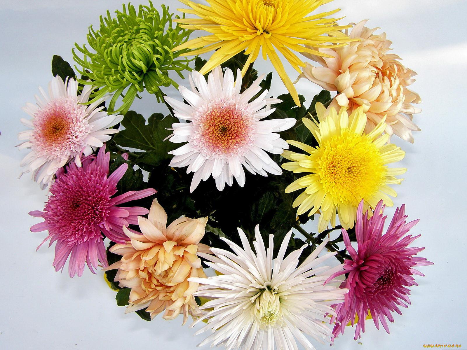 фото открытка хризантемы талант отметили многие
